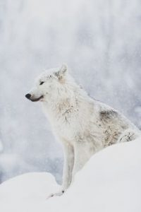 "White Colored ""Gray Wolf"""