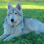 Wolf Malamute Hybrid