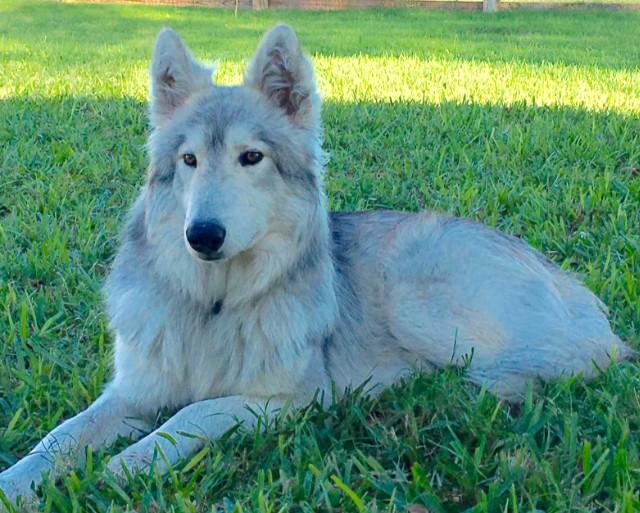 sitka - Colorado Wolf Hybrid Pups