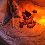 German Shepherd - Wolf Hybrid Pups