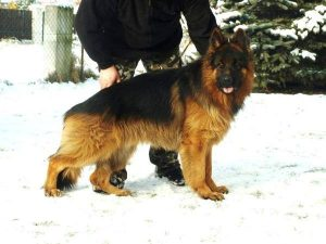 Polish German Shepherd UFO Riwal Hof